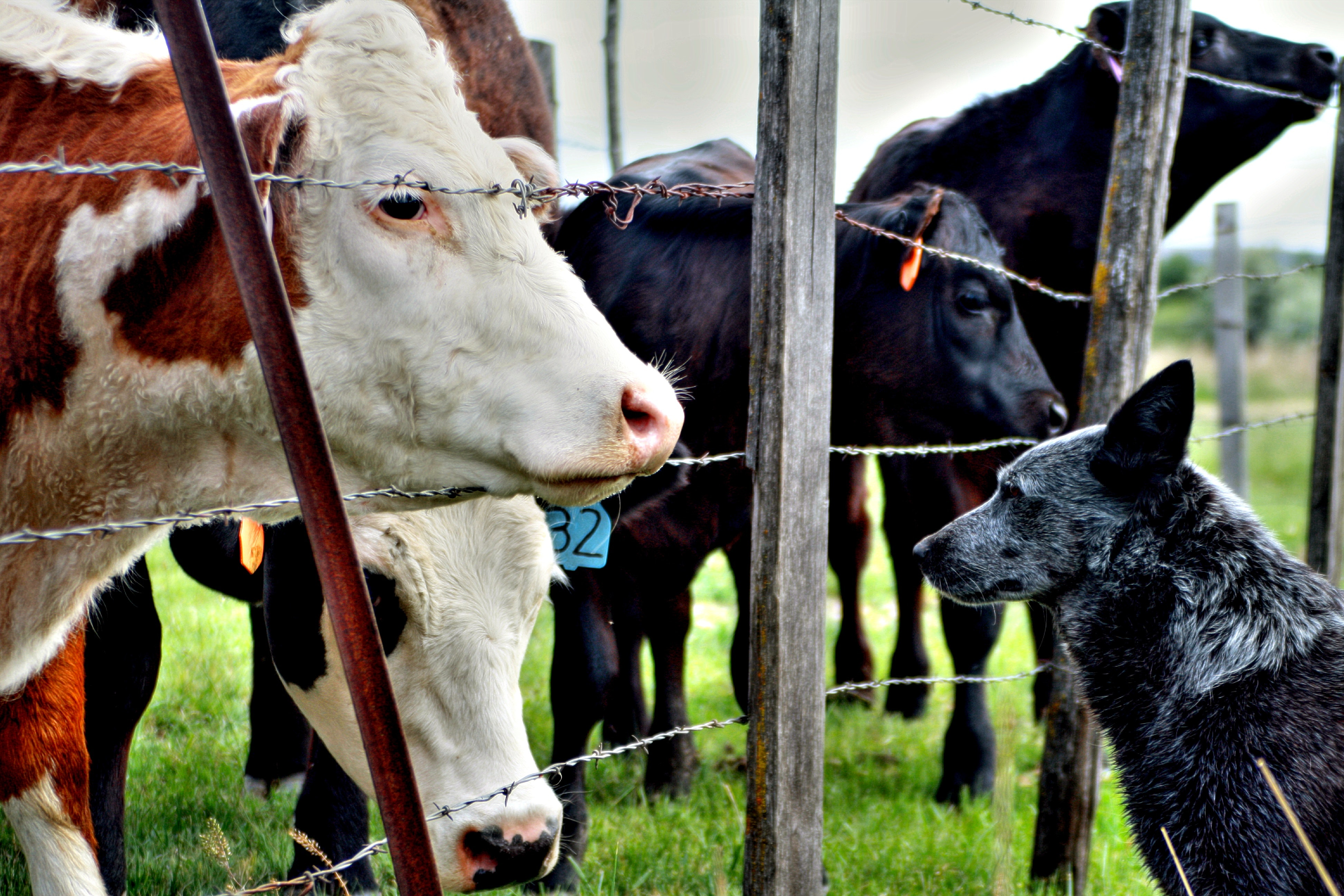 Cows and Dog - Owners have responsibility